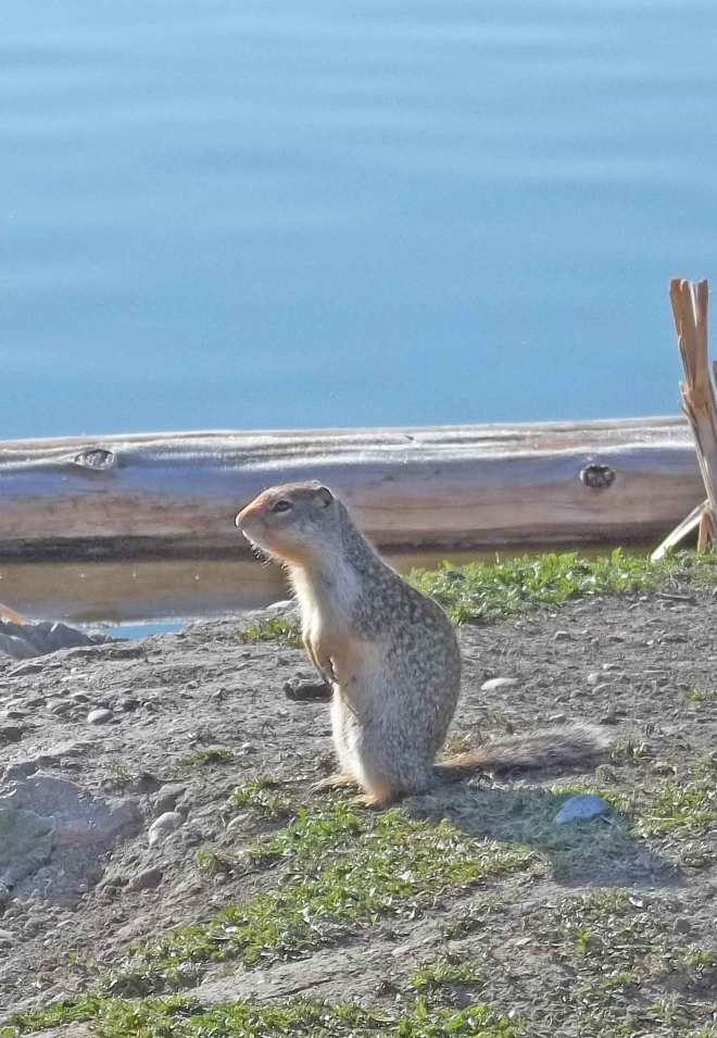 Rocky Mountain Squirrel getting ready to hunker down.